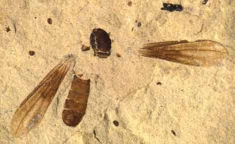 Big-headed fly fossil